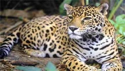 FESTIVAL ONE MUSIC & ARTS destinará parte de las ganancias a la conservación del jaguar.